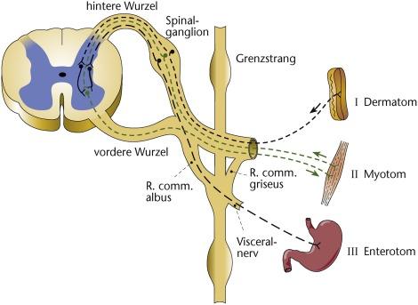 Großartig Funktionelle Anatomie Des Rückenmarks Zeitgenössisch ...