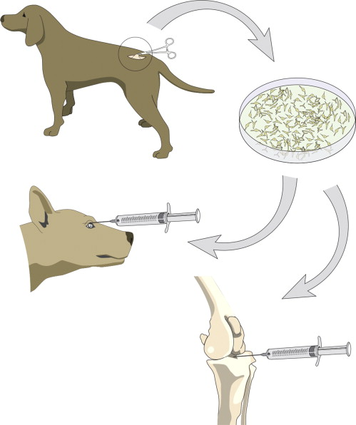 Safety and immunomodulatory effects of allogeneic canine adipose