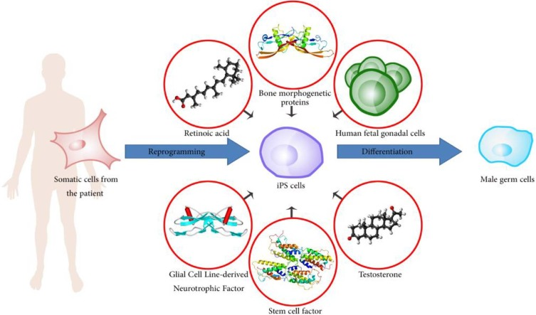 Derivation of male germ cells from induced pluripotent stem cells by