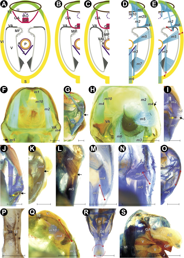 The principal structure of male genital sclerites and