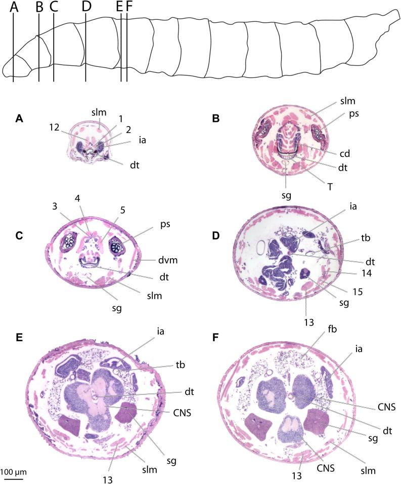 The skeletomuscular system of the larva of Drosophila melanogaster ...