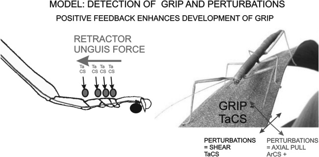 Positive force feedback in development of substrate grip in the ...