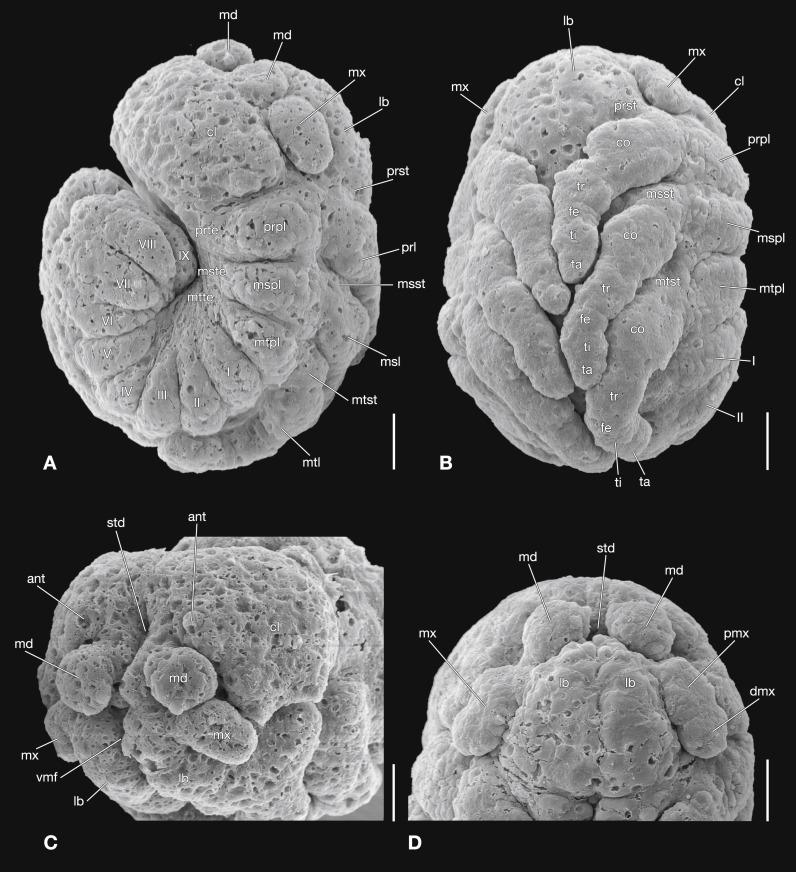 The embryonic development of Stylops ovinae (Strepsiptera