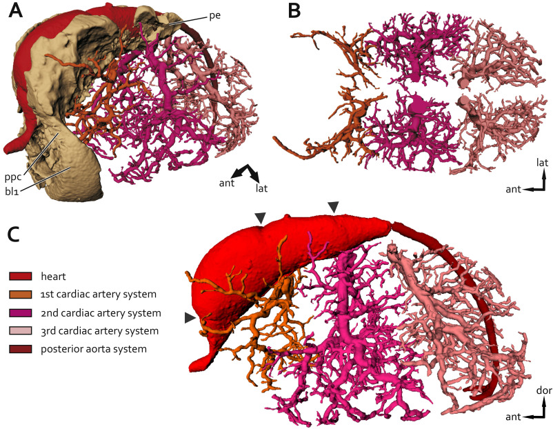 Evolutionary morphology of the hemolymph vascular system of basal ...