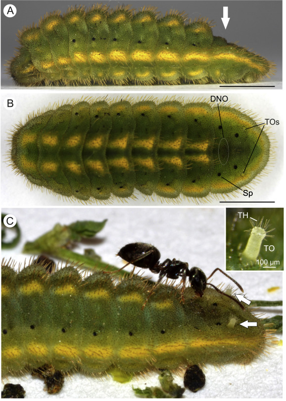 Fig. & The eversible tentacle organs of Polyommatus caterpillars ...