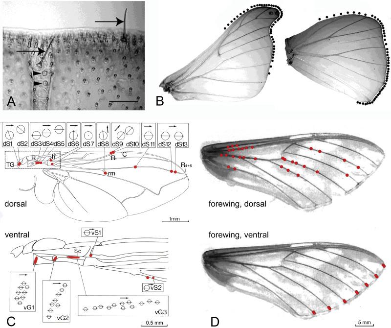 Beyond aerodynamics: The critical roles of the circulatory