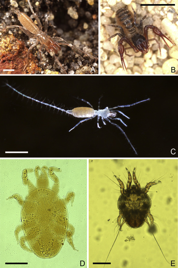 Miniaturisation In Chelicerata Sciencedirect