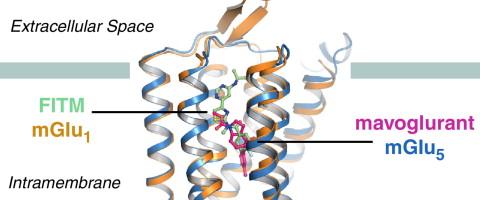 Shedding Light On Developmental Blind >> Structures Of Mglurs Shed Light On The Challenges Of Drug
