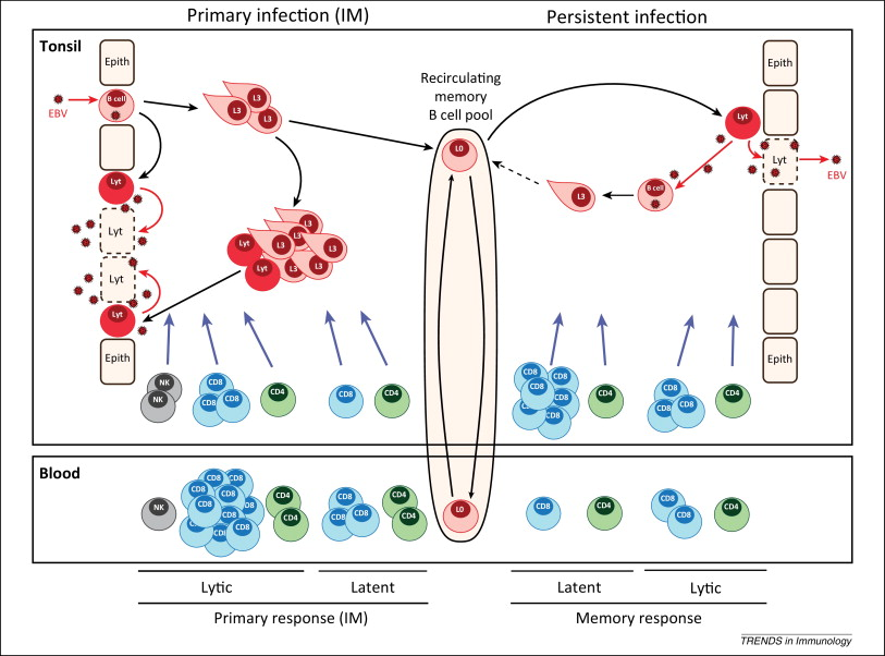 Cellular immune controls over Epstein–Barr virus infection