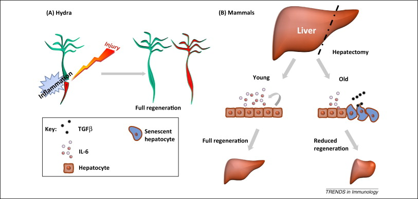 Senescence-associated inflammatory responses: aging and