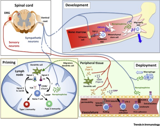 The Regulation Of Immunological Processes By Peripheral Neurons In