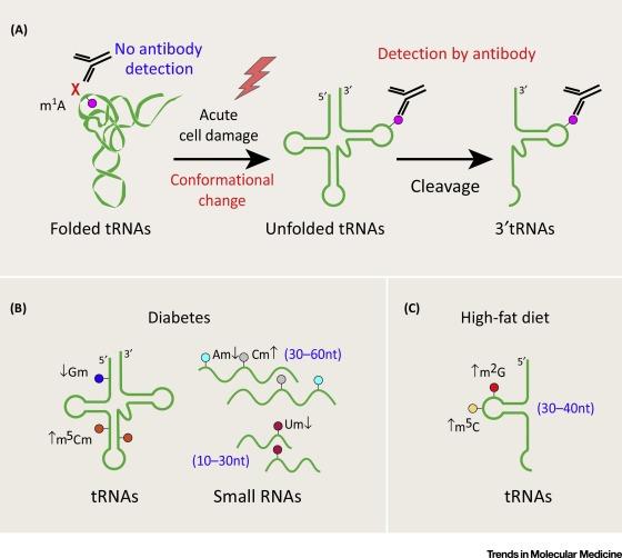 profiling small rna modifications as biomarkers of disease