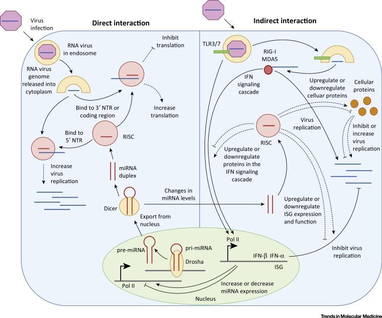 microrna regulation of rna virus replication and pathogenesis Examples of RNA Viruses translational inhibition of the rna viral genome by direct mirna binding