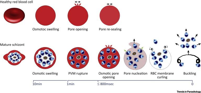 Red Blood Cell Spectrin Skeleton In The Spotlight Sciencedirect