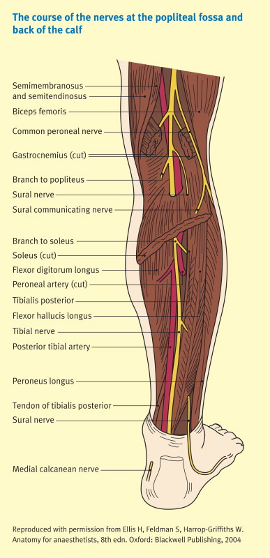 The nerves of the leg and foot - ScienceDirect