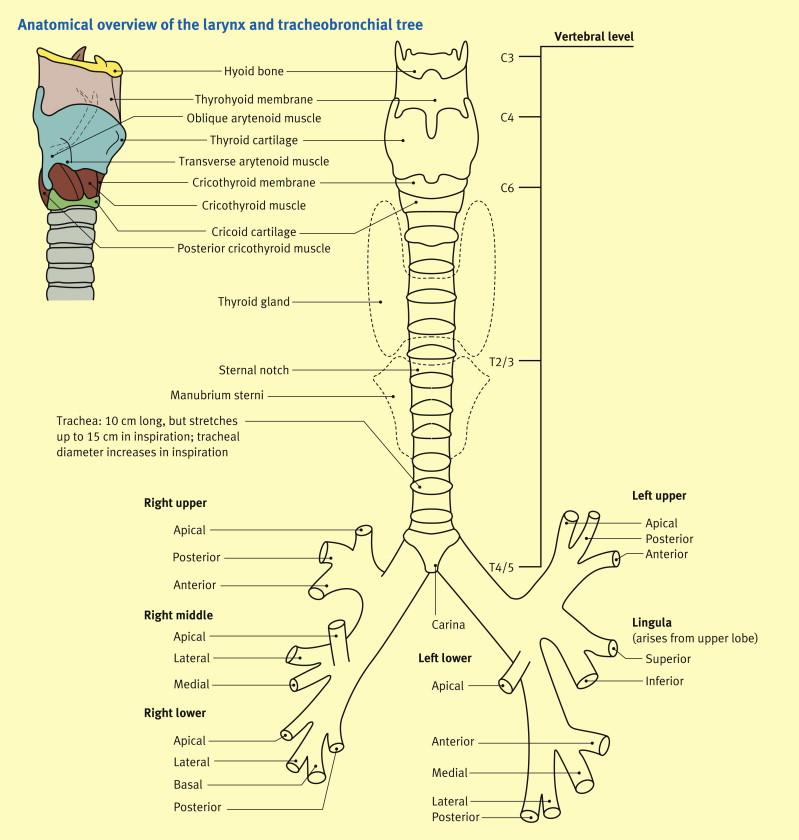 Anatomy of the larynx, trachea and bronchi - ScienceDirect
