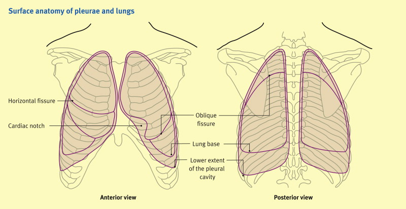 The Lungs And Their Relations Sciencedirect
