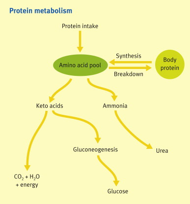 Metabolic Functions Of The Liver Sciencedirect