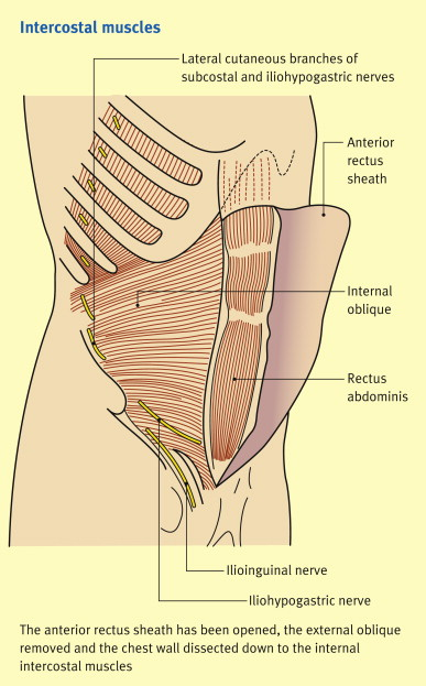 Anatomy Of The Anterior Abdominal Wall And Inguinal Canal
