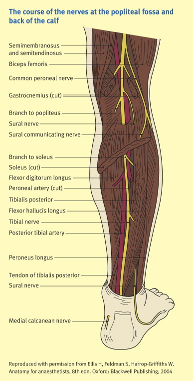 The Nerves Of The Leg And Foot Sciencedirect