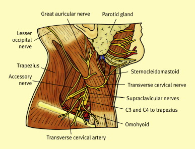 The cervical plexus - ScienceDirect