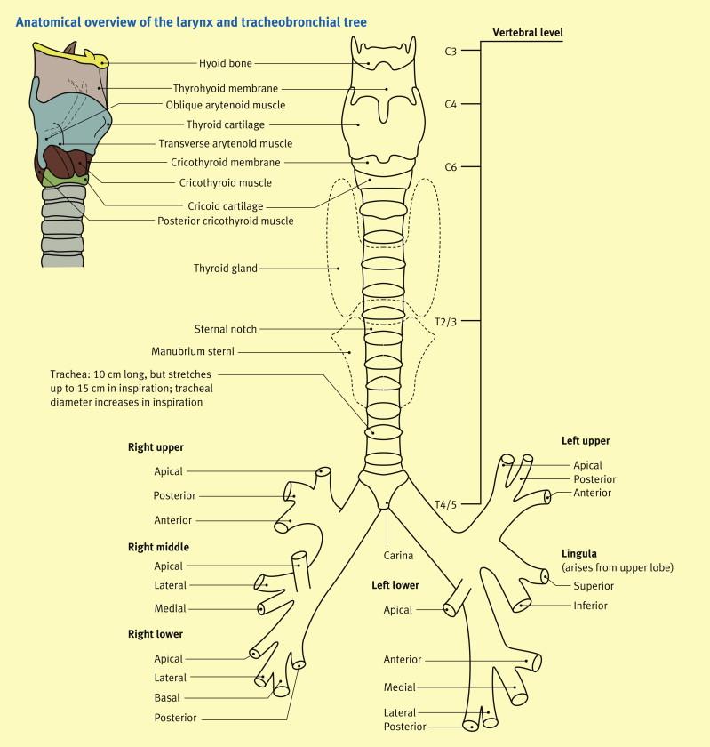 Anatomy Of The Larynx Trachea And Bronchi Sciencedirect