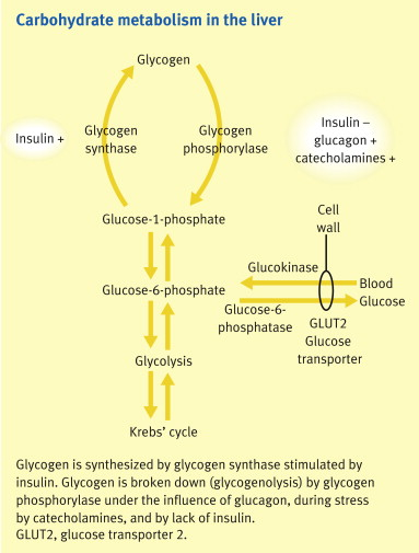 Metabolic functions of the liver - ScienceDirect