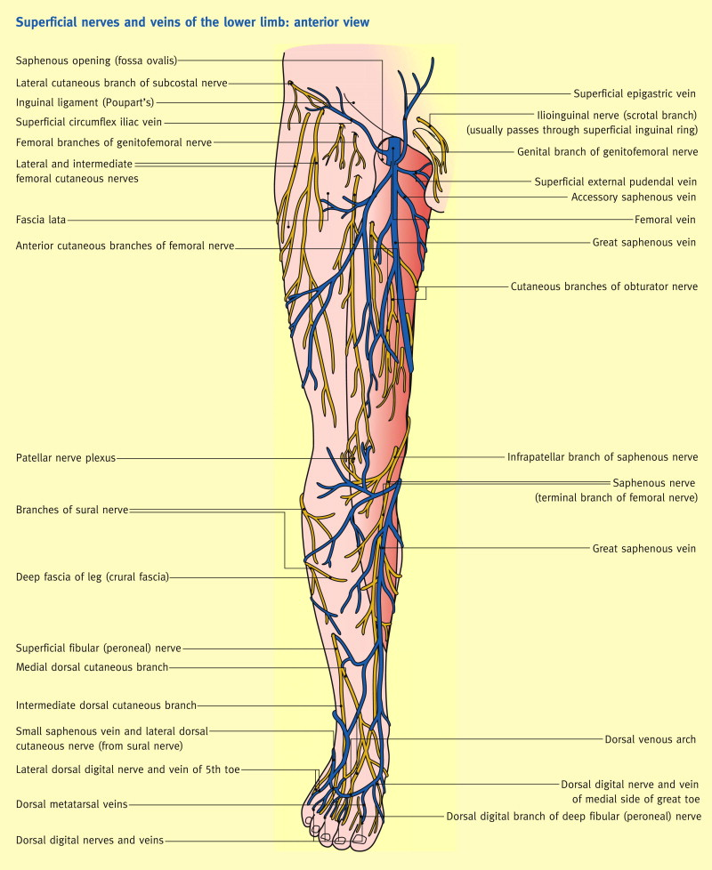 The Femoral Triangle And Superficial Veins Of The Leg Sciencedirect