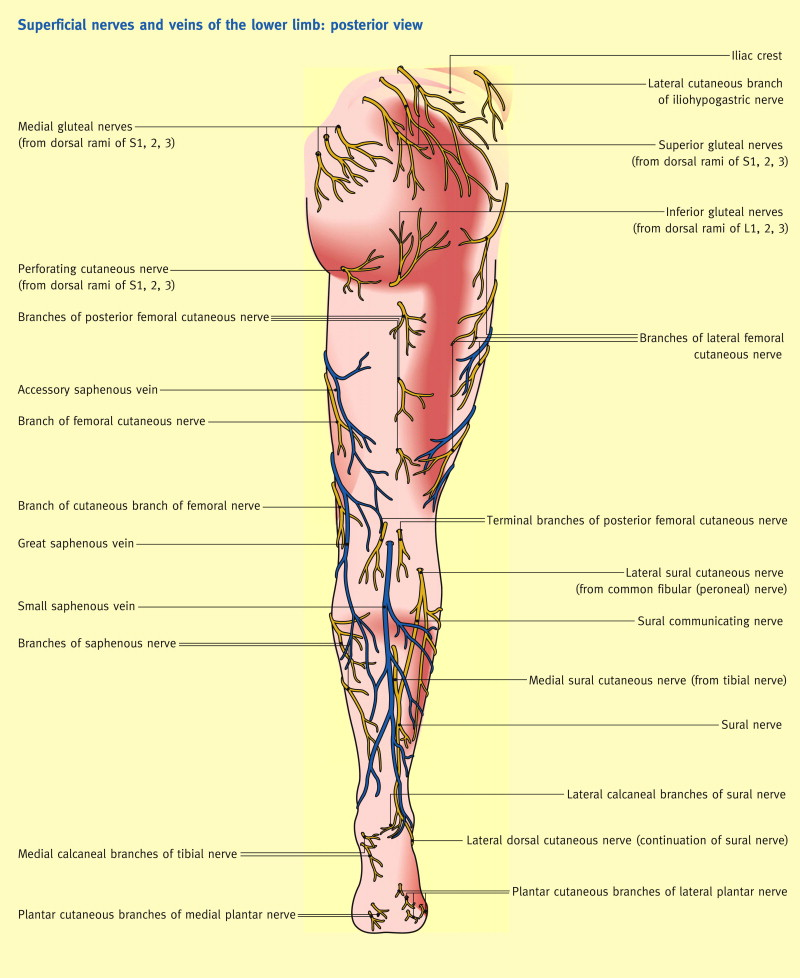 The femoral triangle and superficial veins of the leg - ScienceDirect