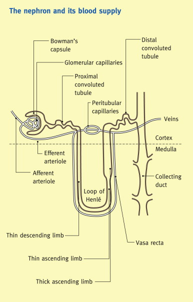 Renal blood flow glomerular filtration and plasma clearance download high res image 418kb ccuart Gallery