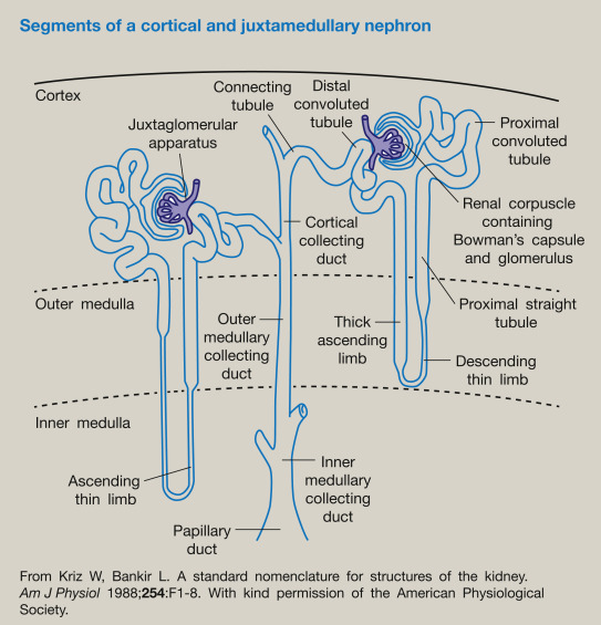ultrastructure of nephron