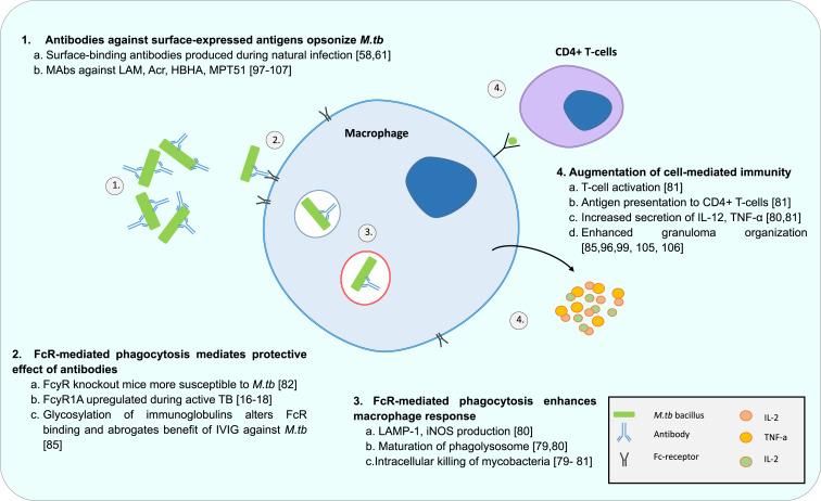Antibodies and tuberculosis - ScienceDirect