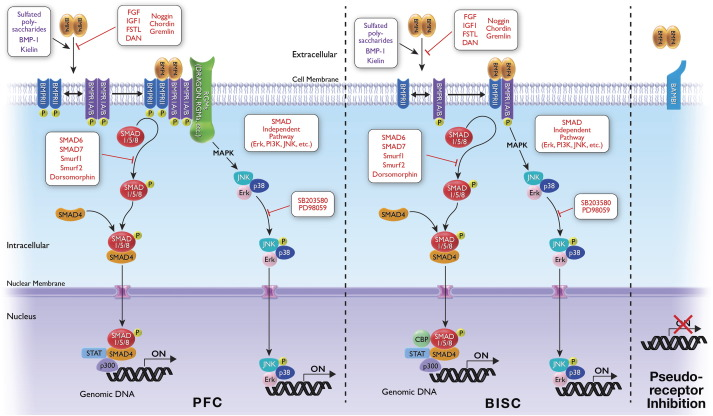 Therapeutic Potential for Bone Morphogenetic Protein 4 in Human