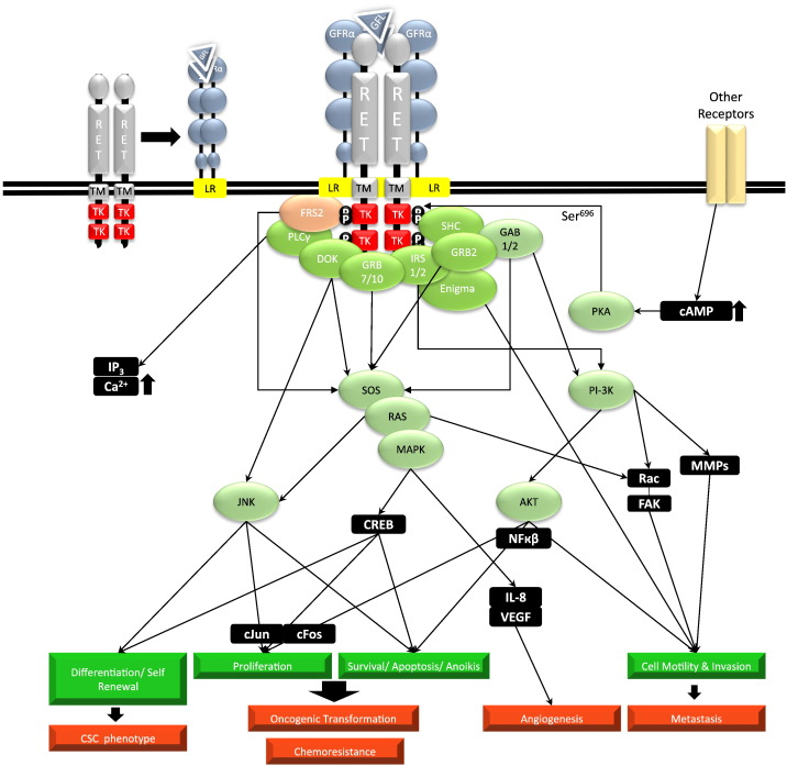 The GDNF Family: A Role in Cancer? - ScienceDirect