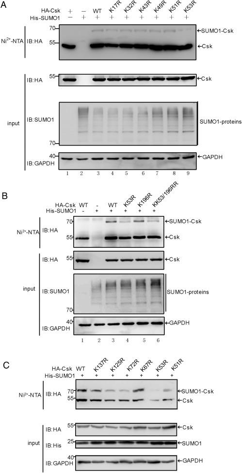 SUMOylation of Csk Negatively Modulates its Tumor Suppressor