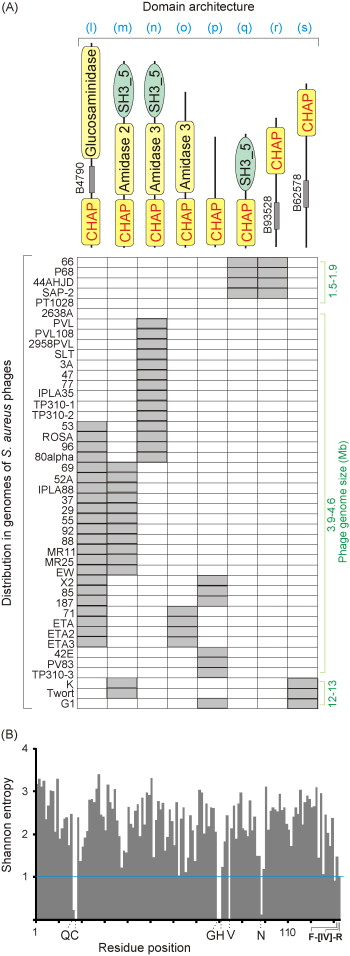 Systematic analysis of an amidase domain CHAP in 12 Staphylococcus
