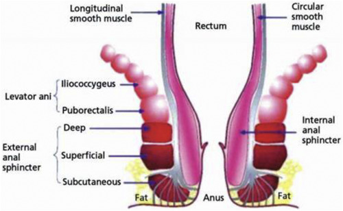 Internal Anal Sphincter Clinical Perspective Sciencedirect