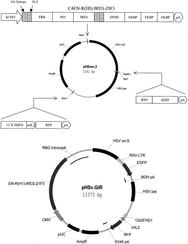 Single Hsv Amplicon Vector Mediates Drug Induced Gene Expression Via