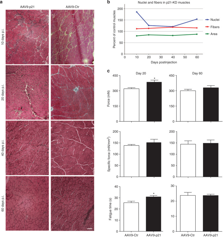 Proliferation Of Multiple Cell Types In The Skeletal Muscle Tissue