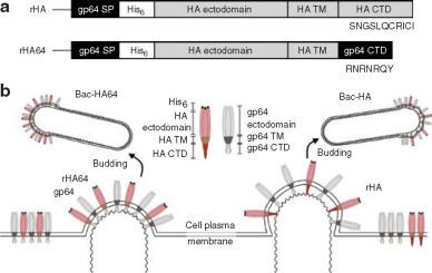 Avian Influenza Virus Hemagglutinin Display on Baculovirus