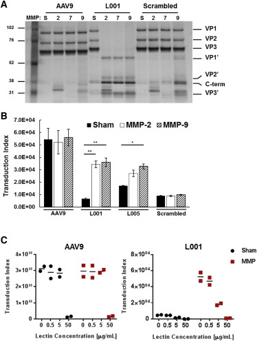 Protease-Activatable Adeno-Associated Virus Vector for Gene Delivery