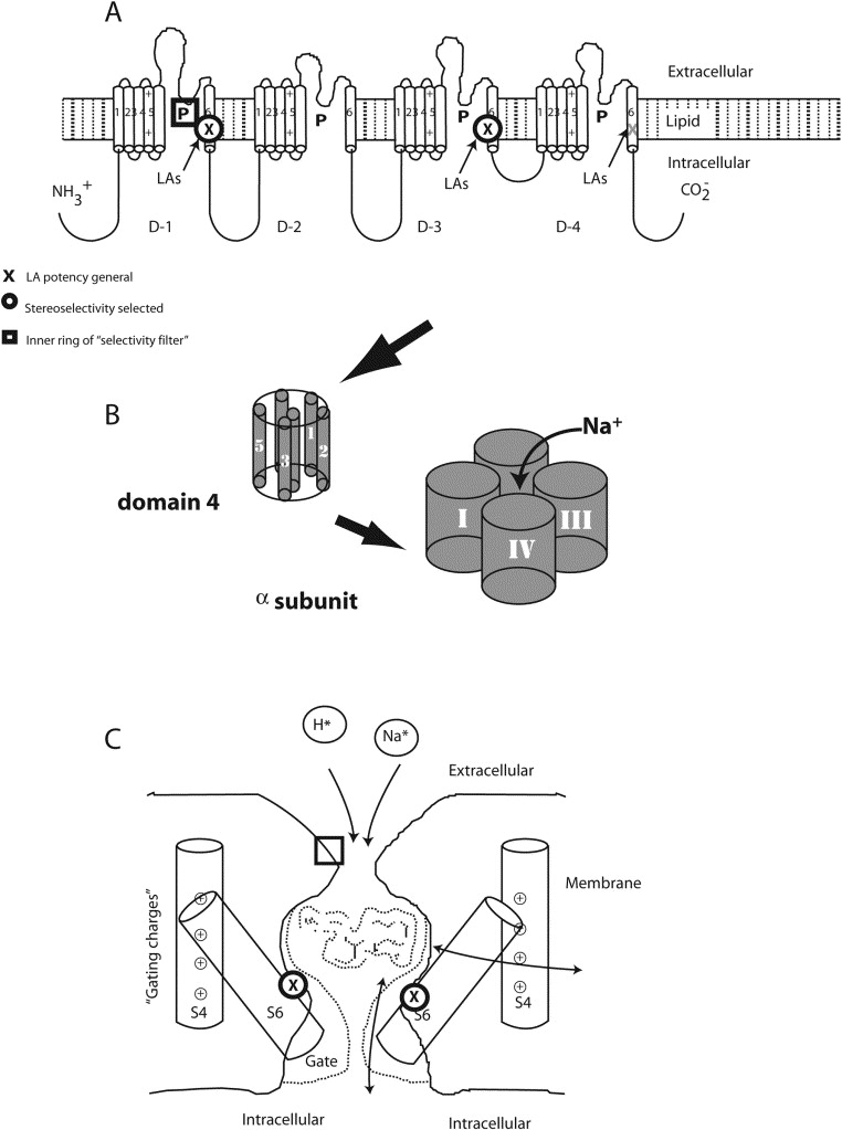 The Role Of Sodium Channels In Chronic Inflammatory And Neuropathic