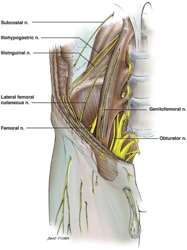Relationship of the lumbar plexus branches to the lumbar spine ...