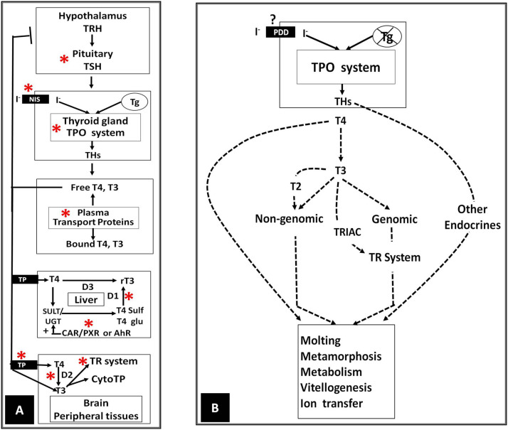 The Evolutionary Road To Invertebrate Thyroid Hormone Signaling