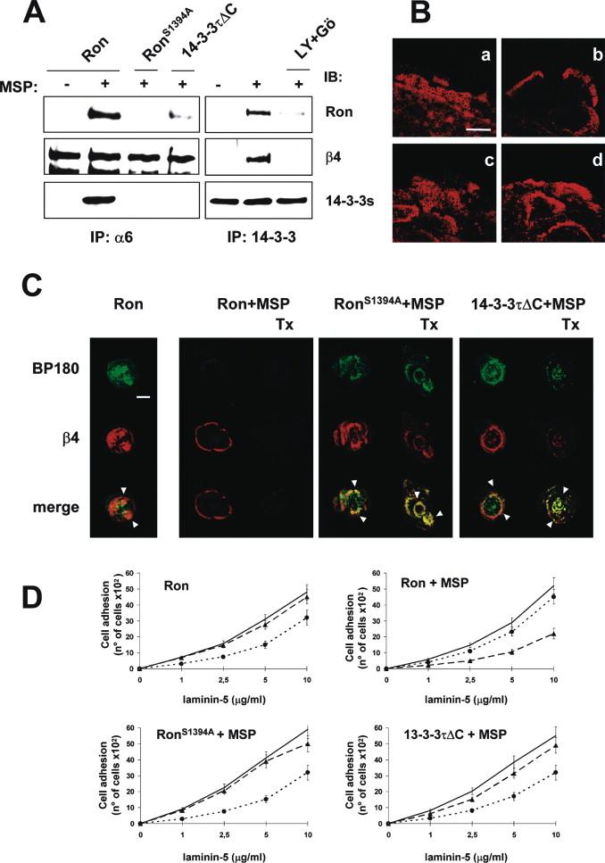 The MSP Receptor Regulates α6β4 and α3β1 Integrins via 14-3