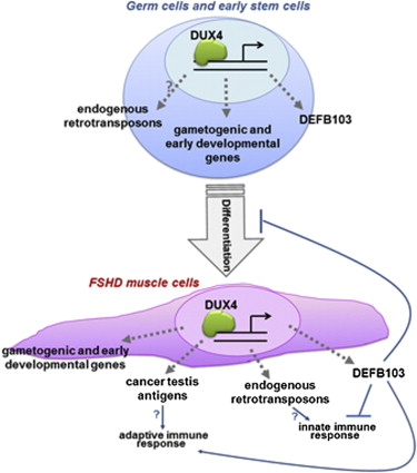DUX4 Activates Germline Genes, Retroelements, and Immune