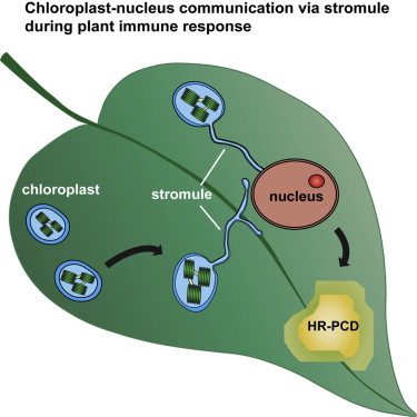 Chloroplast stromules function during innate immunity sciencedirect graphical abstract ccuart Gallery