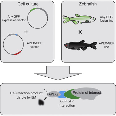 Modular Detection Of Gfp Labeled Proteins For Rapid Screening By