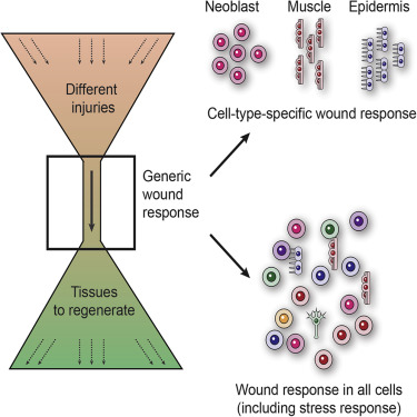 A Generic And Cell Type Specific Wound Response Precedes