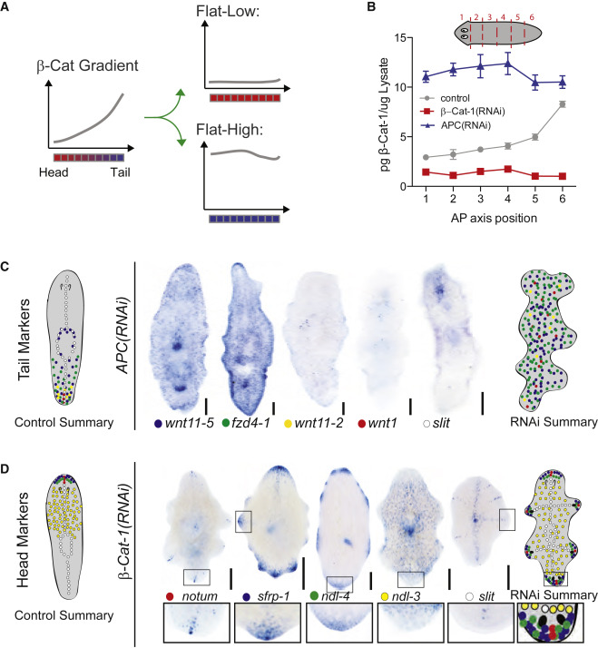 Antagonistic Self-Organizing Patterning Systems Control Maintenance ...